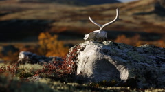 Reindeer skull on rock fall color slider motion close up autumn fall Stock Footage