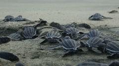 Leatherback hatchlings crawl toward surf Stock Footage