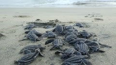 Leatherback hatchlings crawl toward surf - stock footage