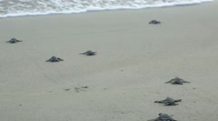 Leatherback hatchlings crawl toward surf Stock Footage