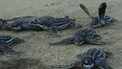 Leatherback hatchlings crawl along beach - stock footage