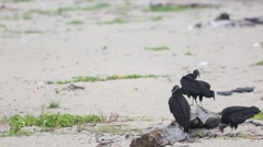 Black vultures sit on log on beach Stock Footage
