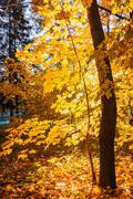 Tree in sunny autumn park Stock Photos