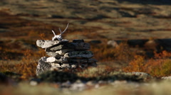 Reindeer skull on rock fall color slider motion mountain autumn fall Stock Footage