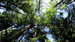 Tree tops canopy Red Cedar forest Pine nature environment sunlight Canada - stock footage