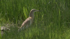 Heron Hunting in the Shallows. Stock Footage