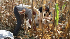Peasants collecting sweet corn cobs, cornfield, gathering harvest, agriculture Stock Footage