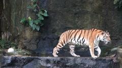 Siberian Tiger (Panthera tigris altaica) Stock Footage