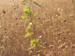 Ukrainian nature, young poplar sapling Stock Footage