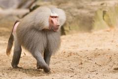 male hamadryas baboon - stock photo