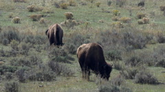 Bison Grazing in Lamar Valley in Yellowstone National Park Stock Footage