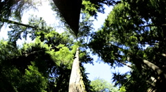Tree tops canopy forest Pine nature sunlight British Columbia Vancouver Stock Footage