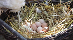 White hen and chicken with fresh eggs in straw nest at traditional organic farm Stock Footage