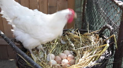 Organic free range chicken, nest, nestle, white hen hatching, eating, farm - stock footage