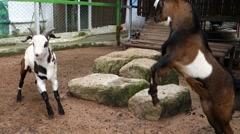 Goat Confrontation. - stock footage