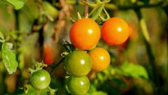 Tomato plants in a garden Stock Footage