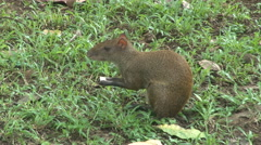 Panama: Central American agouti (Dasyprocta punctata) Stock Footage