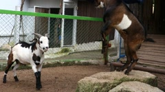 Confrontation of Goats. - stock footage