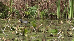Wildlife Bird Moorhen swimming amongst reeds Stock Footage