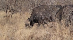 Several water buffalo grazing (4 of 4) Stock Footage