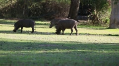 Group of warthogs grazing Stock Footage