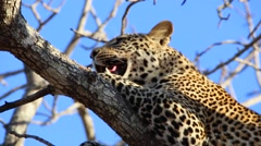 Young male leopard in a tree (3 of 6) Stock Footage