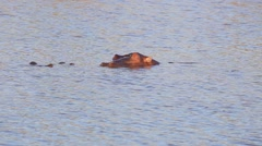 Hippos at the watering hole (6 of 7) Stock Footage