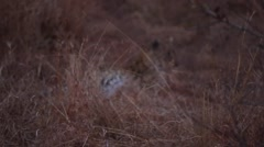 Female leopard in the evening (1 of 2) Stock Footage