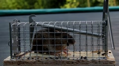 Home little mouse in a mousetrap outdoor Stock Footage