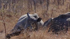 Stock Video Footage of Three adolescent rhinoceros rest in the Africa bush 4