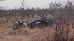 Three adolescent rhinoceros rest in the Africa bush 2  - stock footage