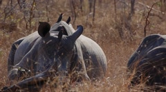 Three adolescent rhinoceros rest in the Africa bush Stock Footage