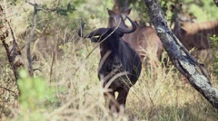 Stock Video Footage of Wildebeest and kudu