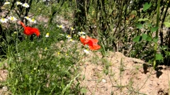 Red Poppy and daisies on the flowerbed Stock Footage