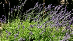 Lavender and bee on a flowerbed near private house Stock Footage