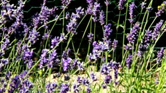 Lavender  a flower bed Stock Footage