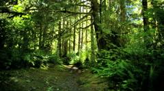 POV Temperate Rain Forest sun flare Red Cedar coniferous Vancouver - stock footage