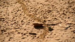 Giant Ant Colony on the March Stock Footage