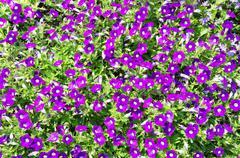 Flowerbed with violet petunias Stock Photos