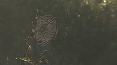 Spiderweb Glowing in Misty Morning Light on Alder Twigs HD Stock Footage