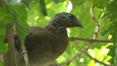 Panama: Juvenile Grey-headed Chachalaca Stock Footage