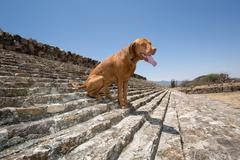 dog sitting on the stairs of the ballgame court in dainzu - stock photo