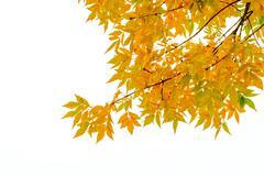 yellow ash tree leaves - stock photo