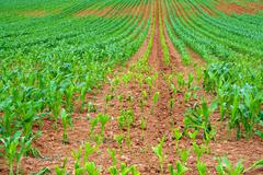 Sweetcorn crop with new growth Stock Photos