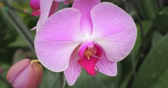 Orchid Phalaenopsis exotic flower in tropical garden in Thailand 4k video Stock Footage