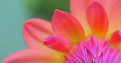 Shallow depth of field 4k video of colorful flower petals close up macro view Stock Footage