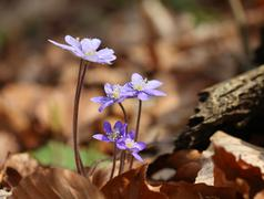 Spring blue flowers in forest anemone hepatica Stock Photos
