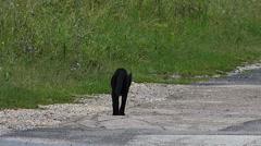 Black Cat on the Asphalt Road Stock Footage