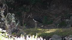 Black Stork 2 Stock Footage