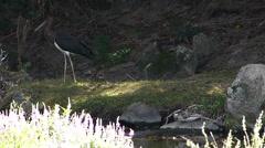 Black Stork 1 Stock Footage